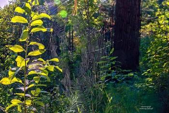 Паутина в лесу... / Паутина паука-крестовика используется в микробиологии для определения состава атмосферного воздуха и в качестве тончайшего оптоволокна.