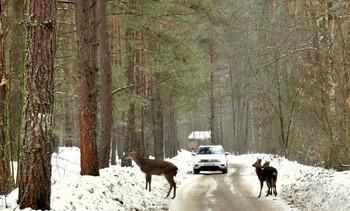 Вчерашняя встреча / Ездили на родник в национальный парк Орловское Полесье и встретили большую семью оленей, порядка 10 особей, которые решили перейти дорогу между двумя машинами. Встречная машина и наша остановились и с восхищением наблюдали за оленями, которые небольшими группами перебегали дорогу. Мамы с перепуганными оленятами переходили первыми, а благородный олень стоял в кустах и наблюдал.