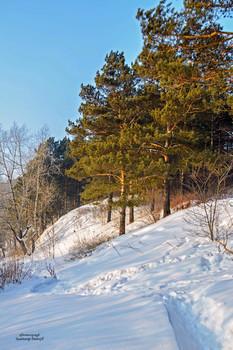 Стройняшки сосны... / Сосна — это очень красивое дерево с большими  пушистыми ветвями. Особенно прекрасны сосновые леса. Еще красивее эти чудные деревья зимой,  когда, чуть присыпанные серебристым снегом, стоят они на белом переливающемся  пушистом покрывале.