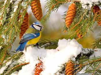 Зарисовка из зимнего леса / Обыкновенная лазоревка. Человек, не обладающий достаточными знаниями в орнитологии, скорее всего, примет ее за большую синицу , которых немало в городских парках, особенно в зимний период. Отличительной чертой этого вида синиц от большой синицы является необыкновенно насыщенная окраска ее крыльев и своеобразной шапочки на голове – у обыкновенной лазоревки они глубокого лазурного цвета. Именно за этот оттенок синица лазоревка и получила такое название. Брюшко окрашено в ярко-желтый цвет
