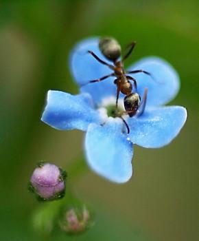 Незабудка и муравей / Муравей на цветке незабудки