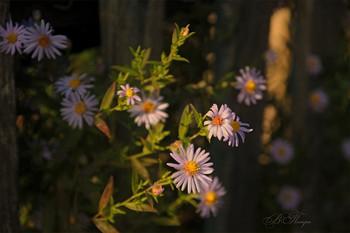 Запоздалые цветы / ***