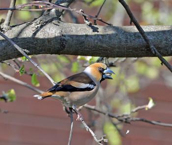 Дубонос / весна, птицы