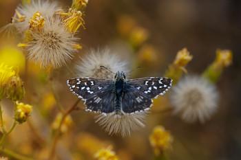Толстоголовка / осень,бабочка
