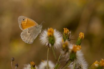 Осенняя сенница / бабочка