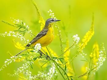На цветущем лугу / Желтая трясогузка. Если белую трясогузку можно назвать речной и озерной, то желтую следовало бы охарактеризовать как болотную и луговую Всюду желтая трясогузка гнездится по заболоченным, травяным либо кочкарным лугам и настоящим болотам, часто - по берегам рек, озер и прудов, и даже непересыхающих луж.