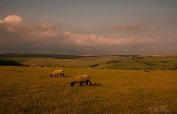 На просторах Англии / Вечерний пейзаж с английскими овечками