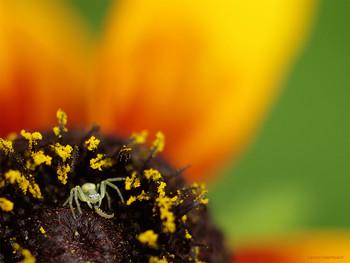 Пикник / Маленькая мизумена косолапая лакомится личинкой в своём шикарном домике - цветке эхинацеи.
