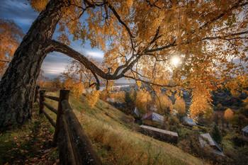 Старая береза / Золотая осень в Плесе.