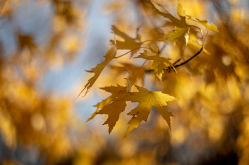 кленовая осень... / meyer-optik