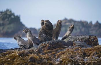 Семейный портрет / Лежбище морских котиков на Скалах Ловушках, Северные Курилы