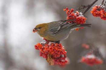 Щур (самка). / Птица семейства вьюрковые. Обитает в хвойных лесах таёжной зоны. Питается семенами хвойных деревьев и ягодами.