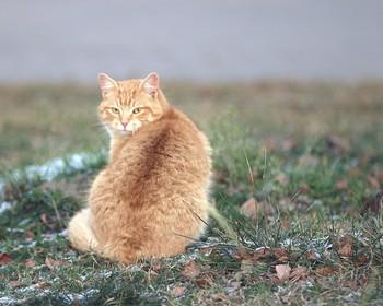 Рыженький / Кот гуляет по газону
