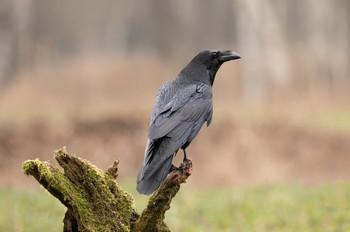 Мудрец / Ворон, одна из умнейших птиц нашего мира.