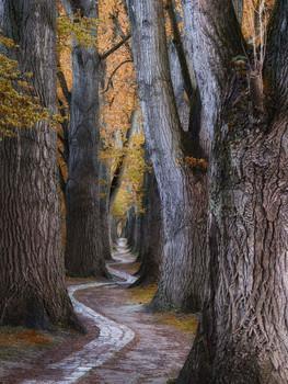 Pfad / Fußweg, der durch alte Pappeln führt