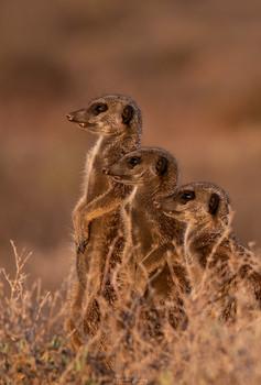 Заре навстречу / Сурикаты. Долина Кару, Южная Африка