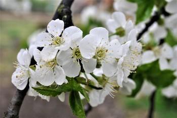Весна / Цвіт вишні
