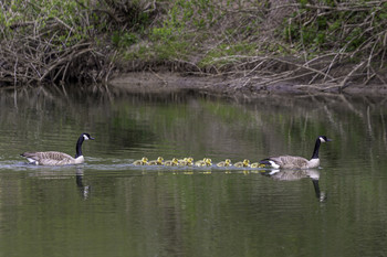/ This Canadian goose family was having an outing together