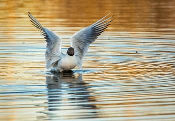 / озерная чайка