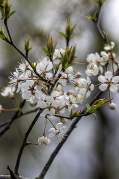 / The blooms on this flowering plum were beautiful