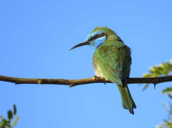 Золотистая щурка / Золотистая щурка небольшая птица длиной 21см и 20г весом. Питается в основном пчелами, осами и другими летающими насекомыми.