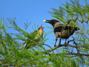 Любимый подкидыш / Птицы кукушки не строят гнезда и не выращивают потомства. Эти птицы – совершенные паразиты, которые избавляются от своих яиц, а поддерживают численность популяции за счет других видов пернатых..Кукушка умная птица, она долго наблюдает где ворона строит гнездо и ждет когда та отложит первое яйцо. Самец кукушки выманивает ворону из гнезда, а самка в это время откладывает своё яйцо. Ворона принимает подкидыша.