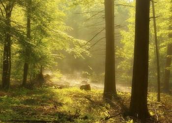 Дыхание леса / Утро в лесу . Лесной пейзаж.