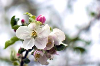 / яблоневый цвет весна май