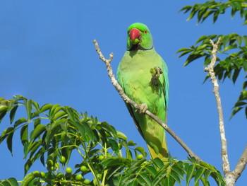 Вкусный завтрак / Ожереловый попугай
