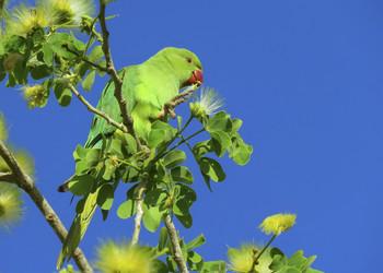 Лакомство попугая / Индийский кольчатый попугай.Индийский Кольчатый попугай назван Попугаем Крамера в честь австралийского натуралиста Wilhelm Heinrich Kramer.Обитает в Южной Азии и ряде районов Африки. На всём ареале является многочисленной птицей, обитающей преимущественно вблизи человека, в том числе в крупных городах. Это наиболее многочисленный и широко распространённый вид среди настоящих попугаев.