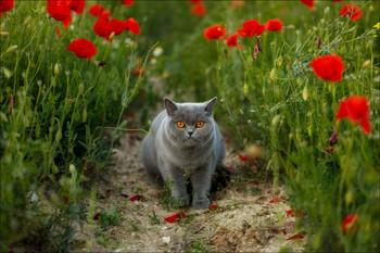 Guardiana dei papaveri / Британская кошка в маковом поле.