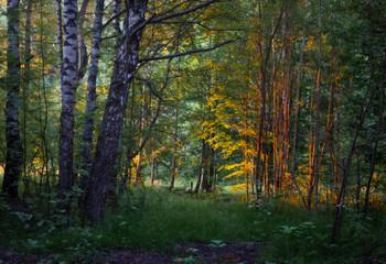Лес просыпается / Первые лучи солнца