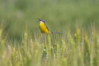 Солист / Желтая трясогузка в пшеничном поле
