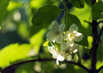 Душистый жасмин в моем саду / Цветение жасмина. Снято Гелиос 44-2
