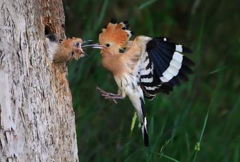 / Die Fütterung dauerte nur eine Sekunde und das Weibchen war wieder weg.