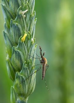 / Самец комара обыкновенного на колоске пшеницы...