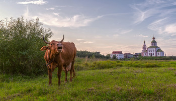 Суздаль. Корова мычащая, домой хотящая...II / Суздаль. Корова мычащая, домой хотящая...II