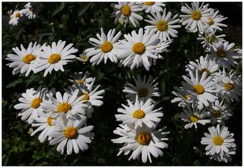 Ромашки белые полевые... / Цветочки летние...