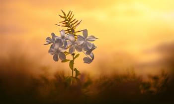 / Fiore di campo al tramonto