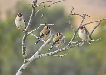 Щеглы / Щегол - птица певчая . Давно пользуется популярностью у любителей природы. За ним интересно наблюдать в естественных условиях. Щегол выделяется ярким оперением и мелодичными звуками , которые издаёт. В его репертуаре свыше двадцати разнообразных мелодий