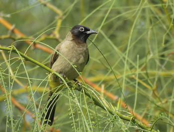 Бюльбюль желтопоясничный (Pycnonotus xanthopygos) / ...