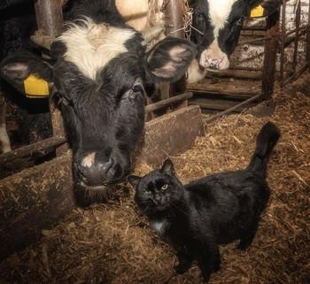 Любимые коровы кота Матроса / https://imgur.com/a/2ng5AsR