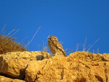 Домовый сыч / Домовый сыч — хищная птица рода сычи семейства совиные.