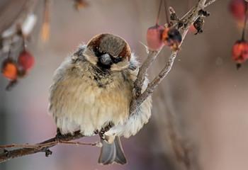 Холода..! / воробушки - городские жители.. приходится искать объекты охоты ближе к дому..  морозы.. )