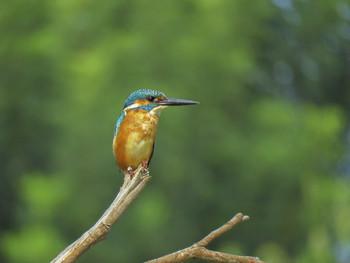 Обыкновенный зимородок (Common Kingfisher) / ...