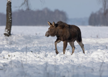 Первая зима / Молодой представитель семейства лосей.