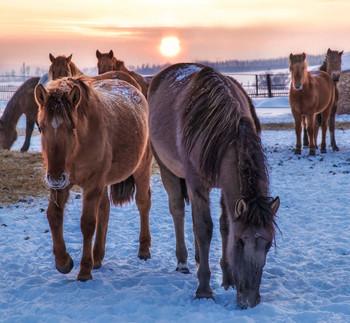 "На закате в колхозе ""Рассвет"" / лошади , зима ,Башкирия, колхоз"
