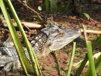 Портрет АллигаторЧика / Baby alligator portrait / Детеныш аллигатора в дикой природе. Ноябрь 2020, Техас