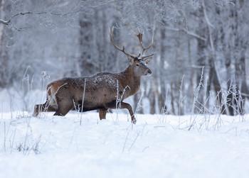 В зимней тишине / Благородный олень