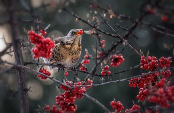 зимняя ягода.. / дрозд рябинник на красной февральской облепихе..